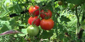 樹上で完熟したトマト