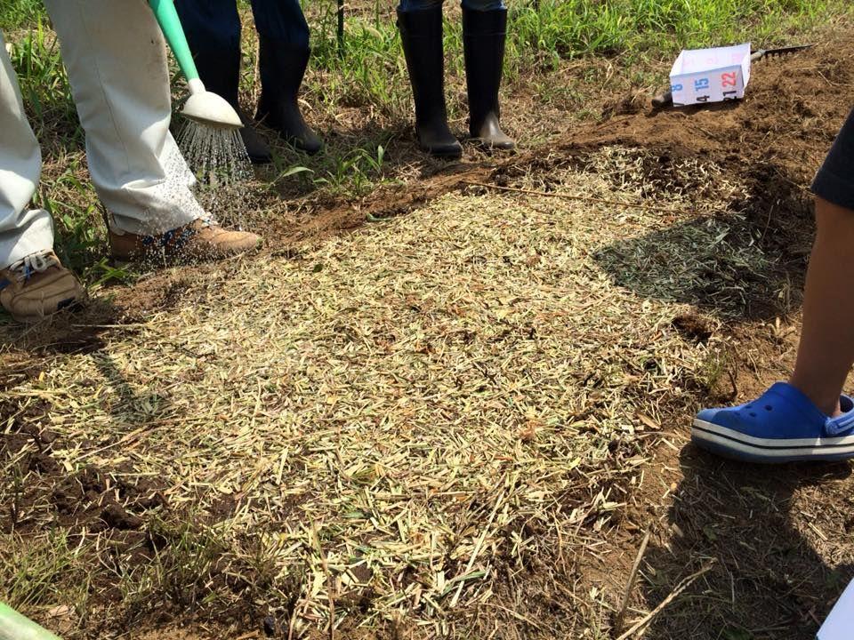 種を蒔いたら、細かく刻んだ草を被せます。