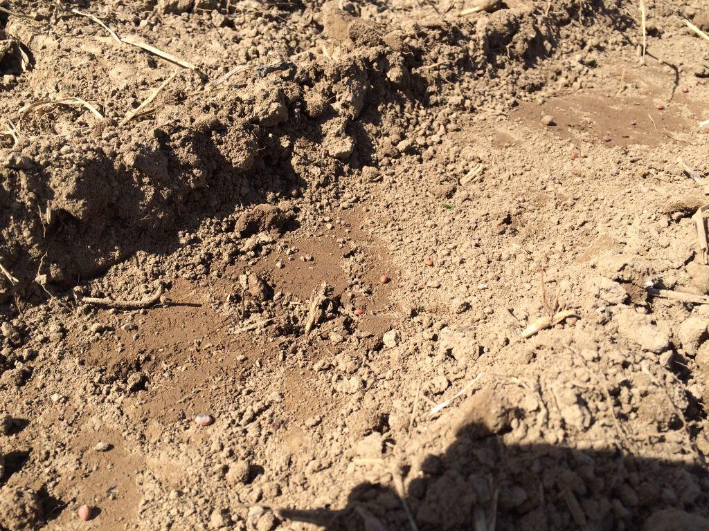 大根の種降ろし。10cm間隔に撒きました。
