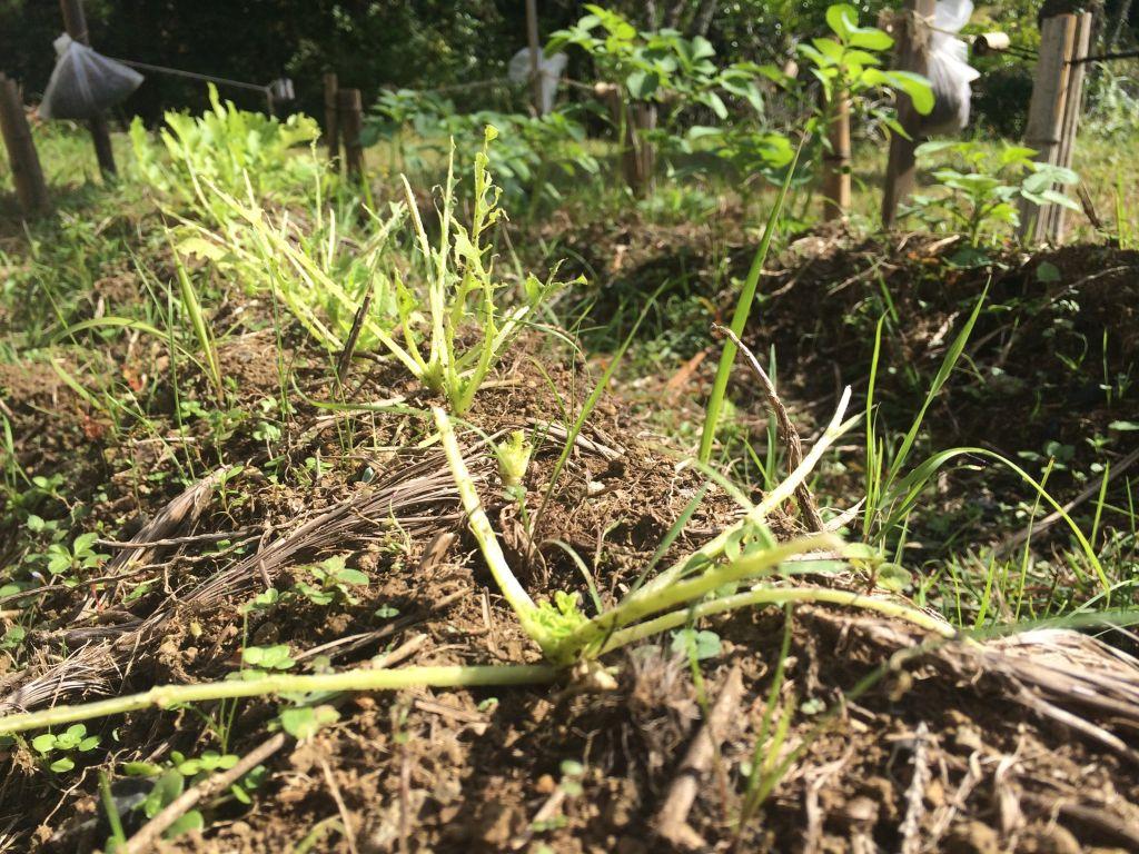 有機農エリアの大根