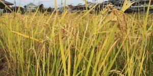 自然農の米