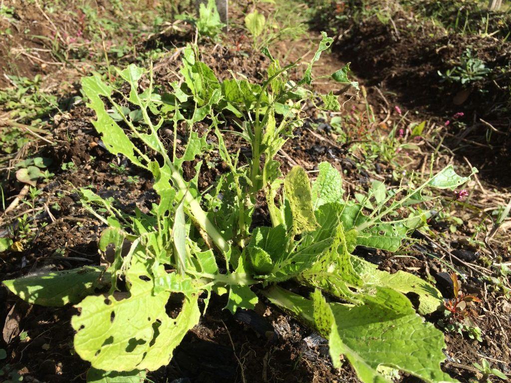 有機農エリアの白菜。