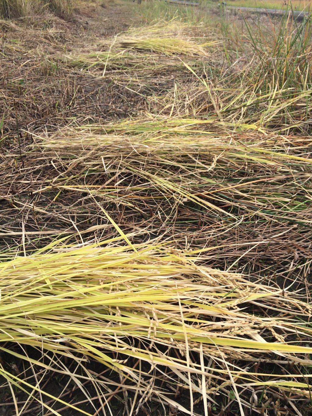 稲刈りした稲