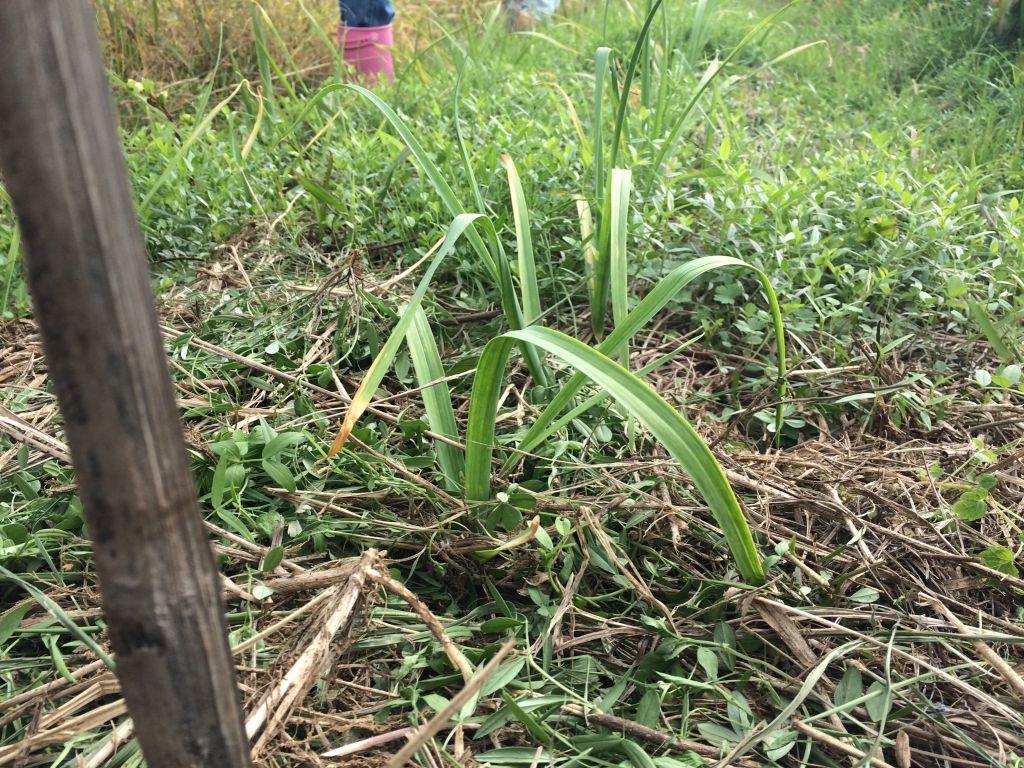 草刈りしたニンニク
