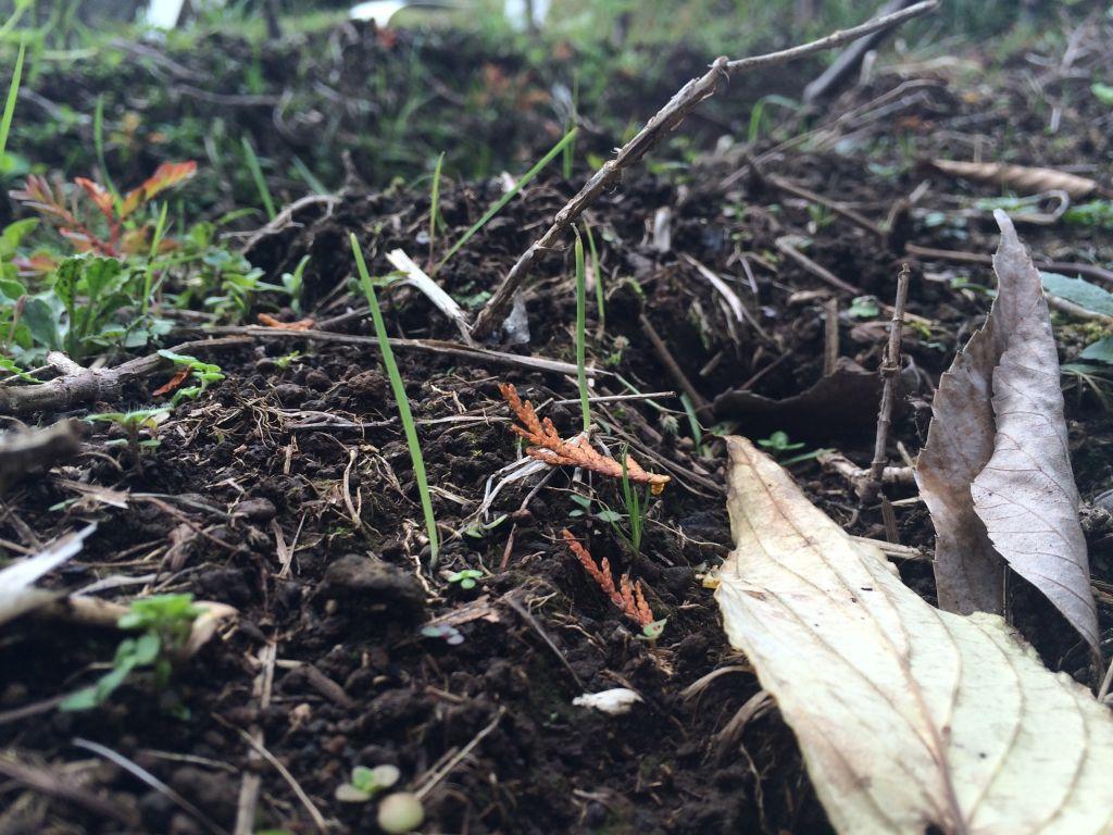 有機農エリアの玉ねぎ