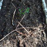 ベランダで自然農(2015/11/18)