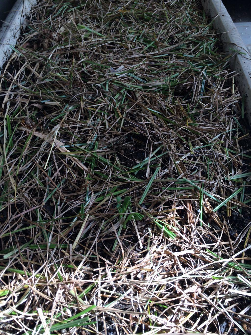 枯れ草を被せた後。