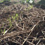 自然農で農作業(小麦の種降ろし、虫とり、草刈りなど)(2015/11/19)