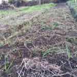 【自然農の農作業(玉ねぎの定植、じゃがいもの収穫など)】(2015/11/30)