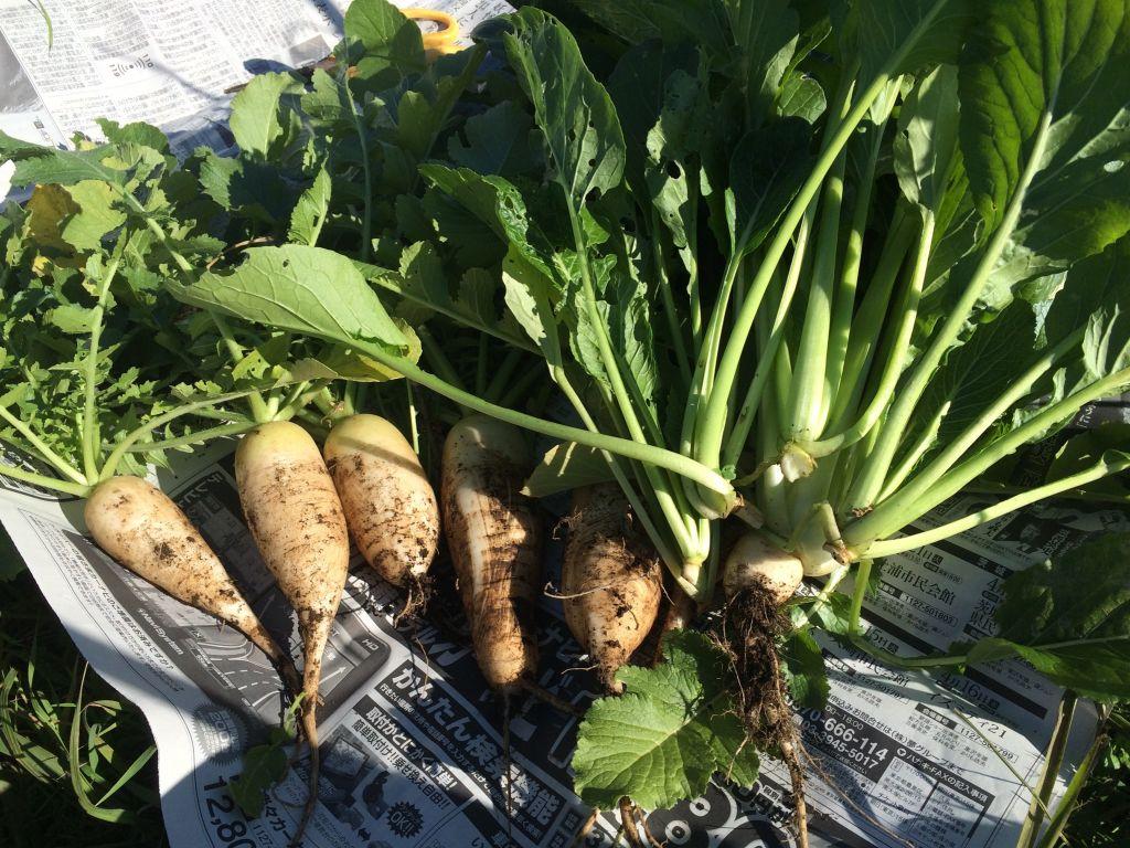 収穫した大根と小松菜