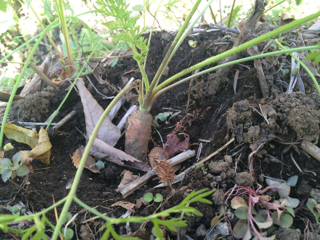 掘り起こされて根が見えている人参