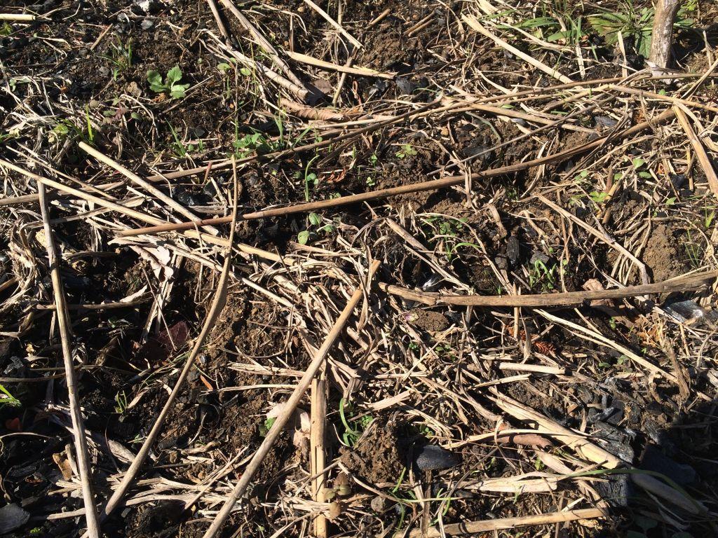 動物さんに踏み荒らされて壊滅状態の長ねぎの苗床