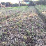 自然農の農作業(玉ねぎの定植など)(2015/12/07)