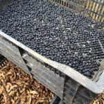 【自然農の農作業(黒大豆の殻外し、生垣の剪定、里芋、人参、長ねぎの収穫】(2015/12/17)