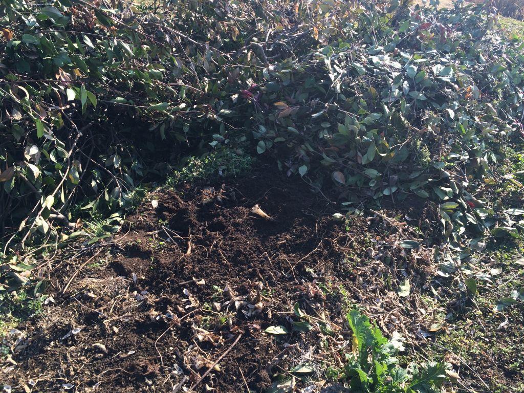 防寒用の木の枝葉(奥)と、里芋を掘り出した後の畝(手前)