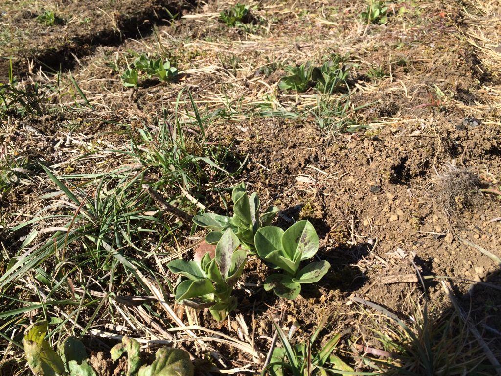 自然農エリア(上)の赤そら豆