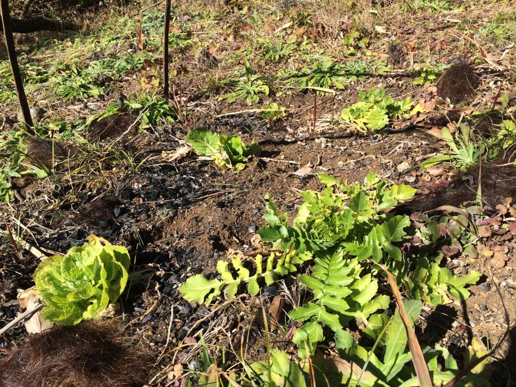 石井農園の大蔵大根と白菜