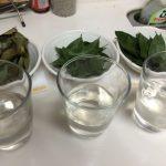 【乾燥ローリエの作り方の実験結果】