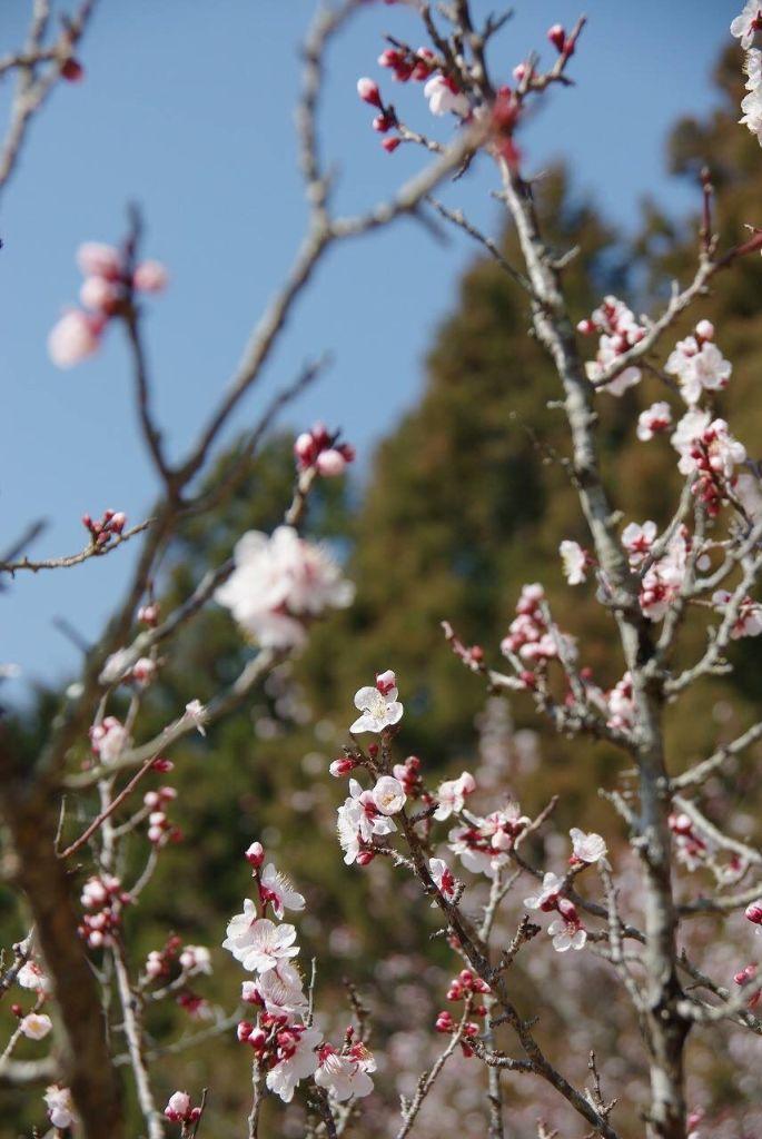 ハコネエコビレッジの梅