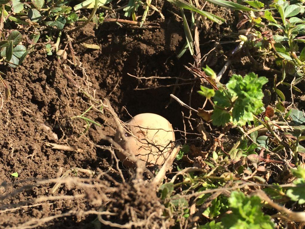 芽の部分を上に向けて、種芋を穴に入れます