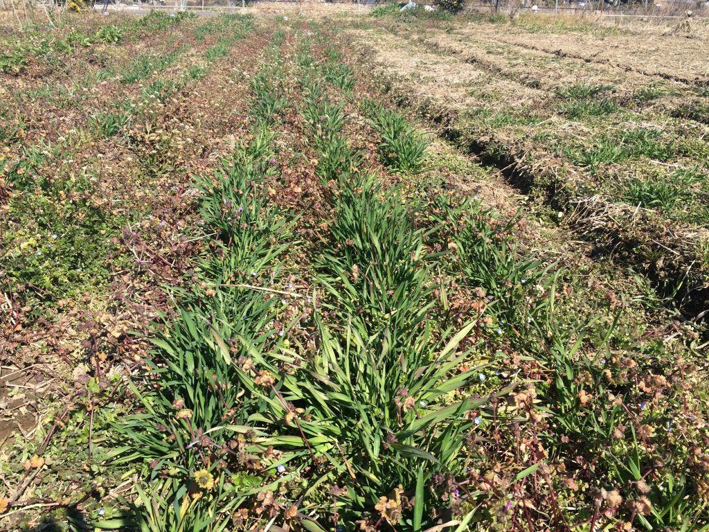 暖かくなって急に大きくなり始めた小麦