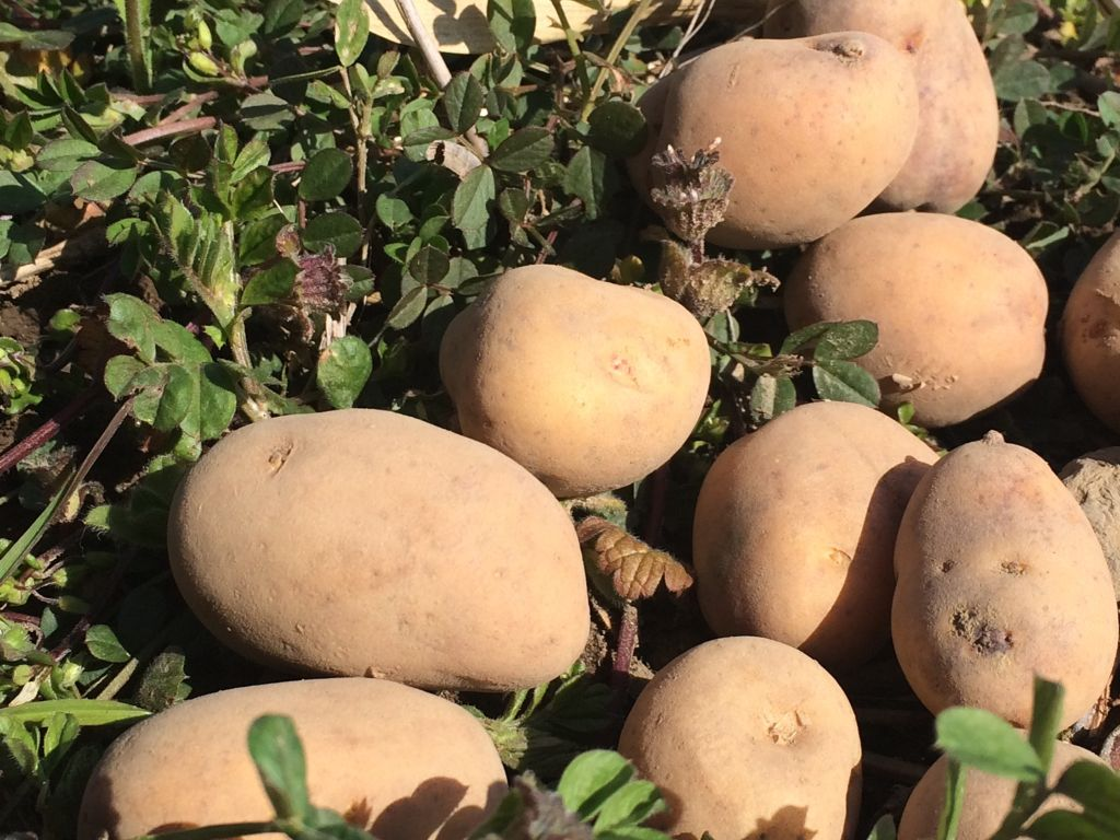 インカのめざめの種芋