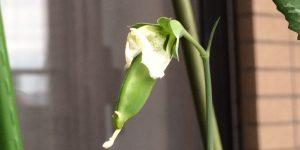 花が咲いたスナップエンドウに豆の赤ちゃん