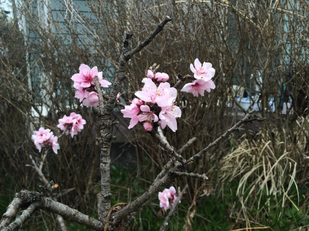 綺麗に咲いた桃の花