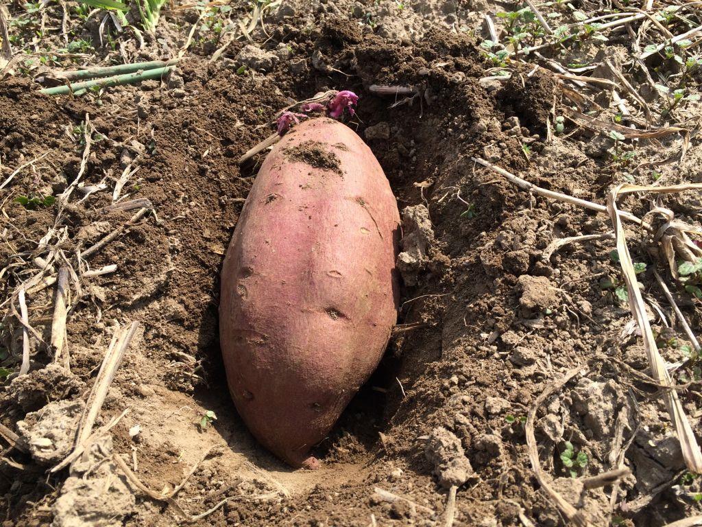 土に穴を掘って芽を斜め上に向けて埋めているところ
