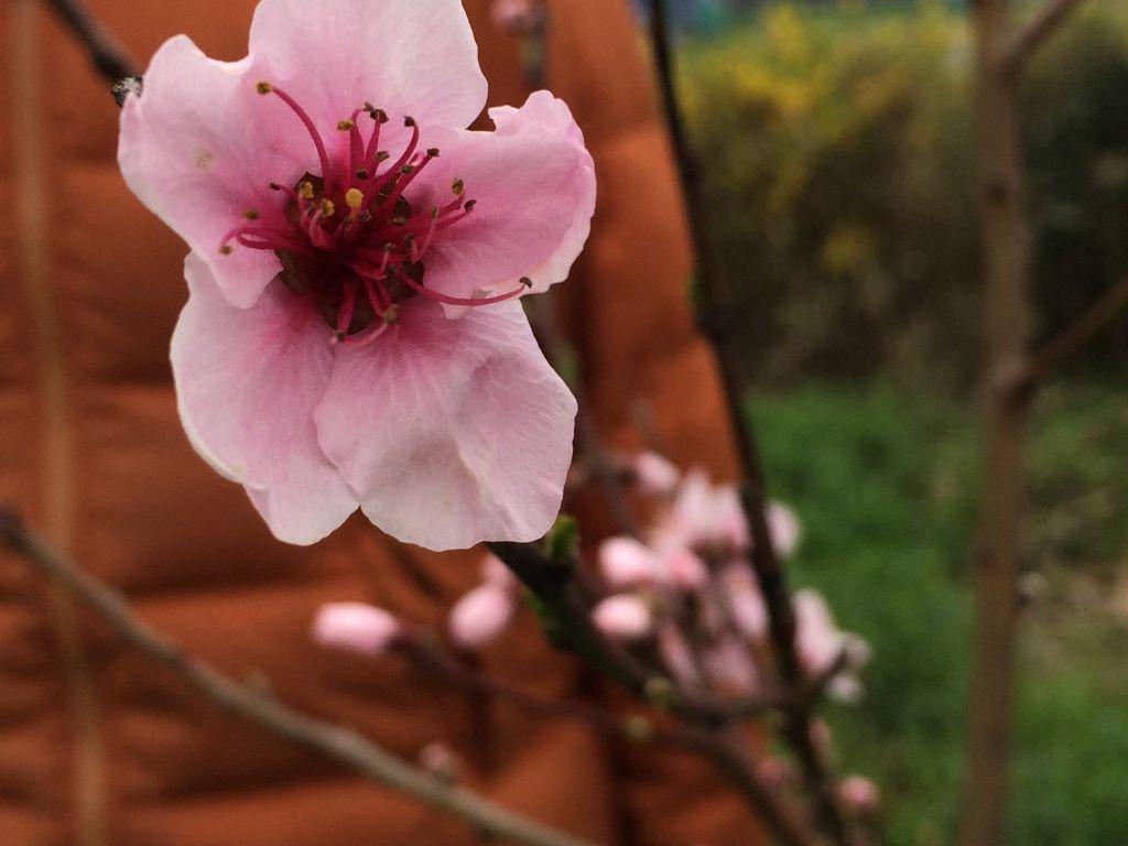 桃の花が開花