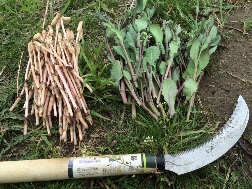 収穫した土筆とのらぼう菜