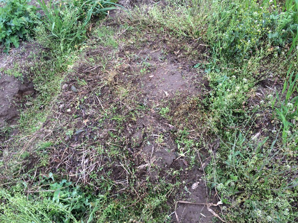 種降ろしのために草刈りしたところ