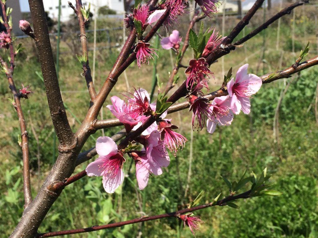 桃の花はもうそろそろ終わりです