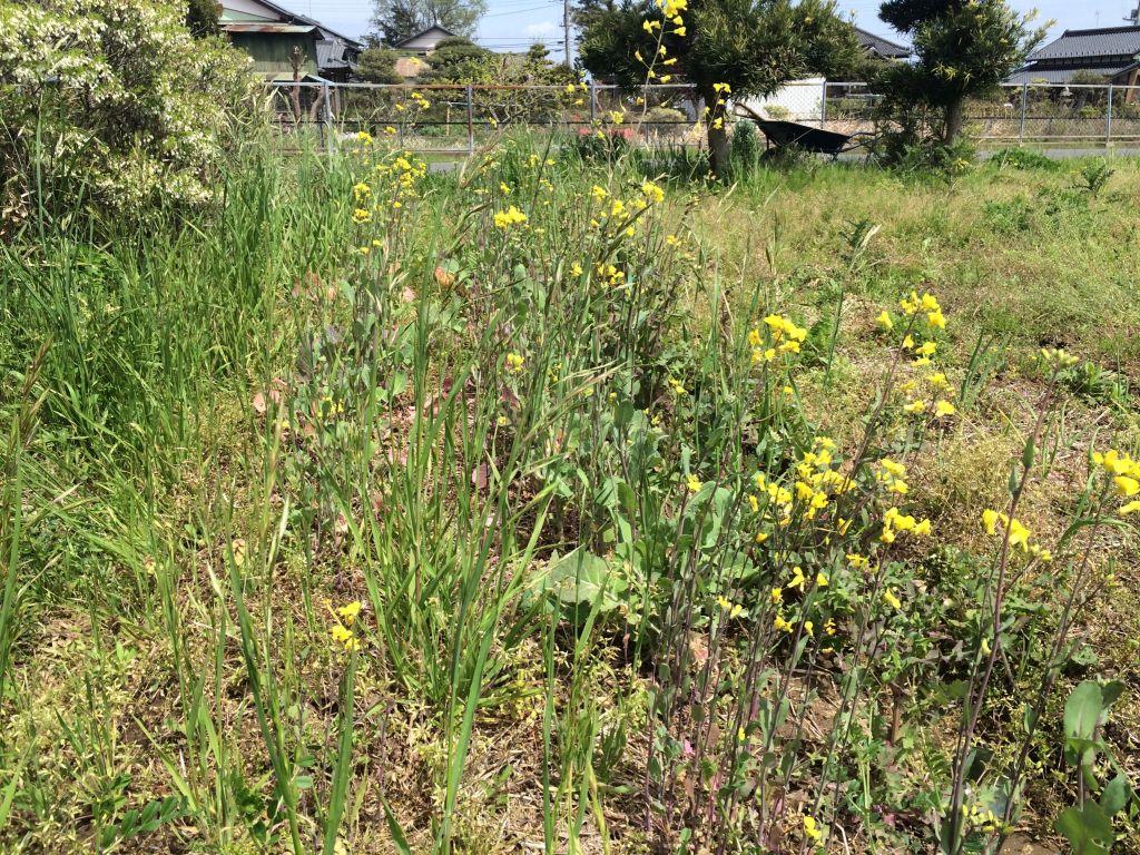 のらぼう菜。黄色の花でいっぱい。
