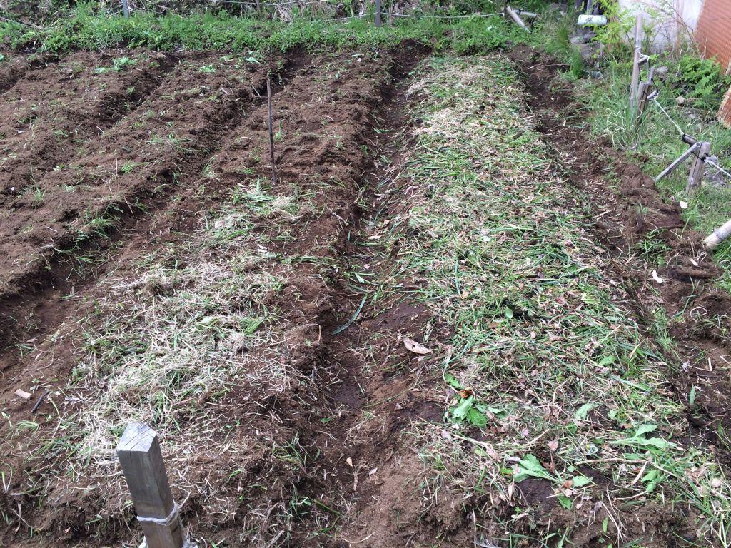右側の畝に黒田五寸人参を降ろし、左側手前に赤ひげ葱を降ろしました