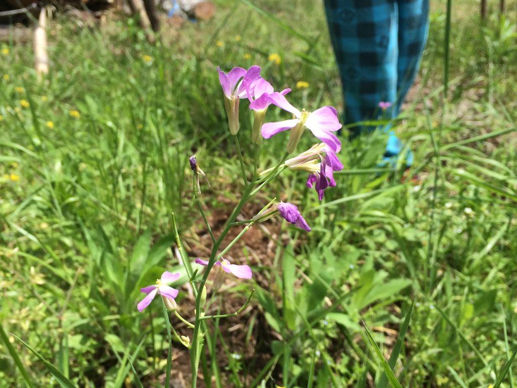 大蔵大根の花