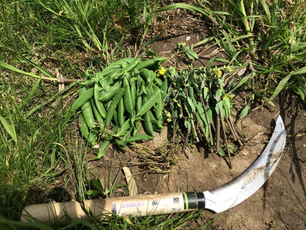 収穫したのらぼう菜とスナップエンドウ