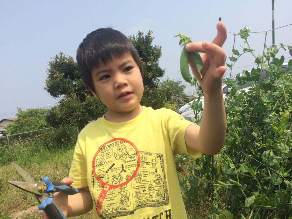 スナップエンドウを収穫する忠丸