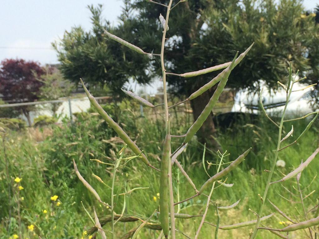 のらぼう菜の種