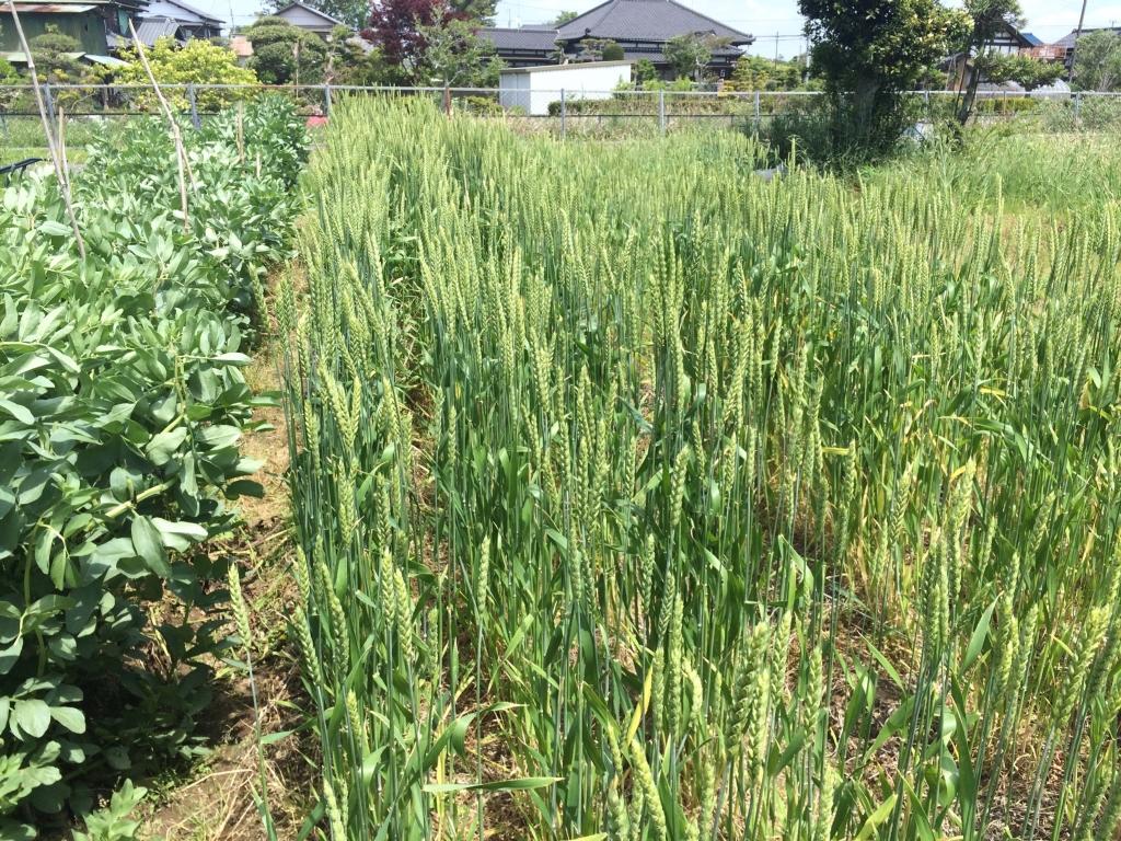 小麦(最大のもので高さ112.0cm)