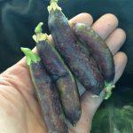 【スナップエンドウとツタンカーメンエンドウの収穫、枝豆発芽】(2016/05/23)