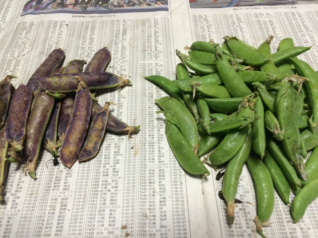 収穫したツタンカーメンエンドウとスナップエンドウ