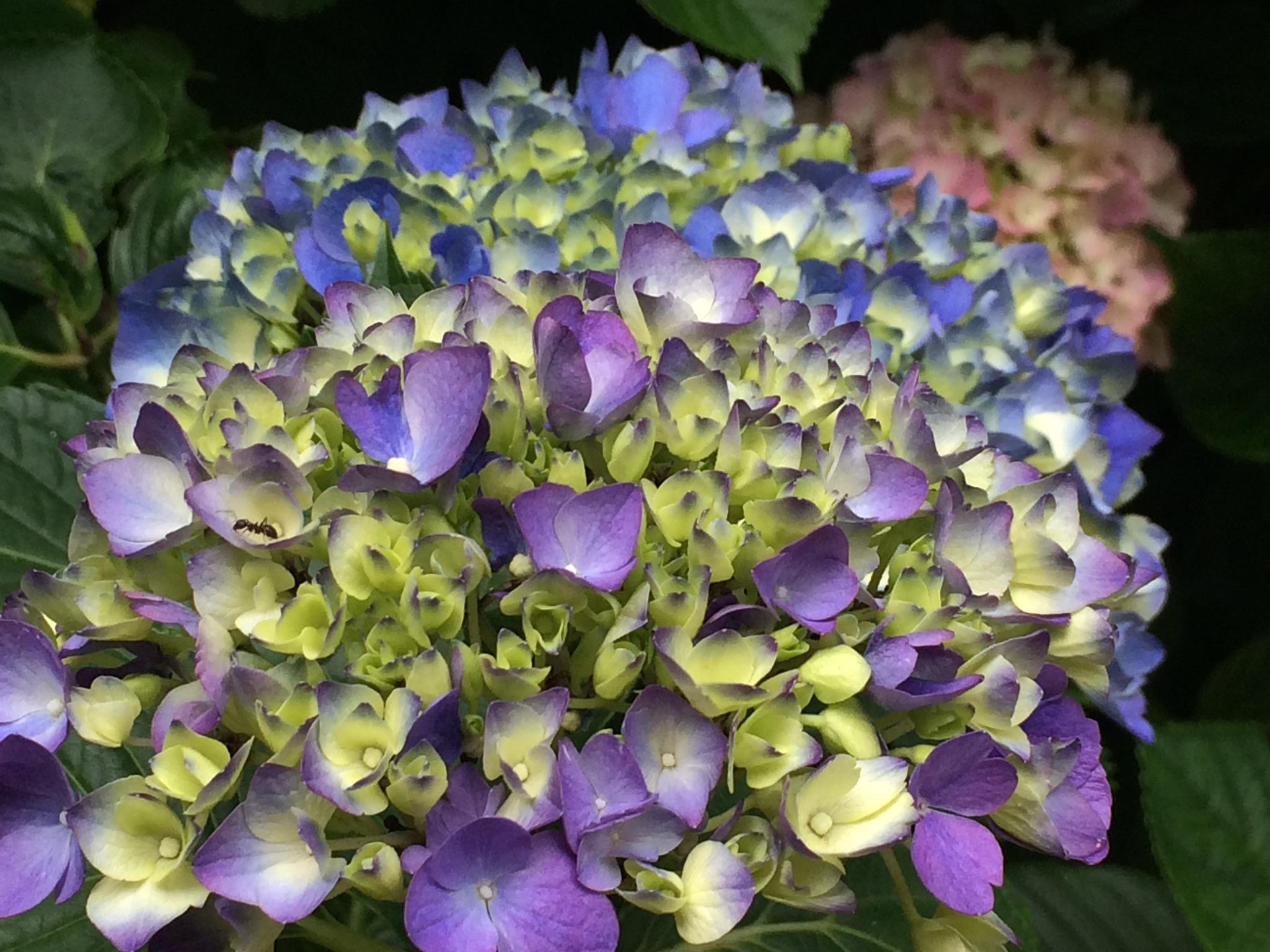 塔ノ沢駅の紫陽花