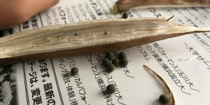 オクラの中身はカラカラ、種は丸くて深い緑色
