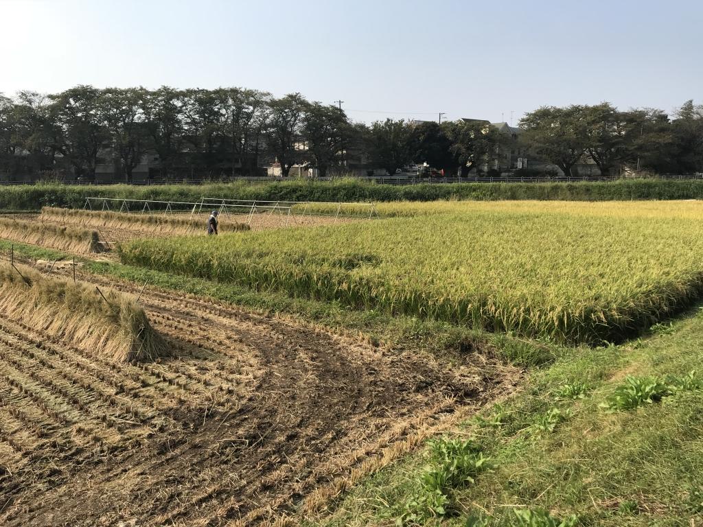 右側の稲を子供達が刈ります