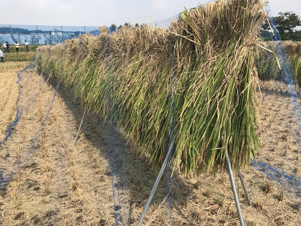 刈った稲を干し終わったところ