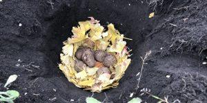穴に里芋を入れたところ