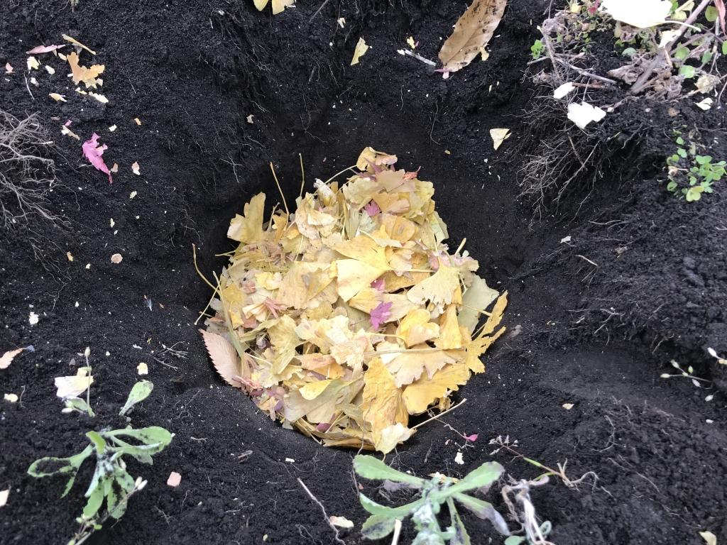 里芋に落ち葉を被せたところ
