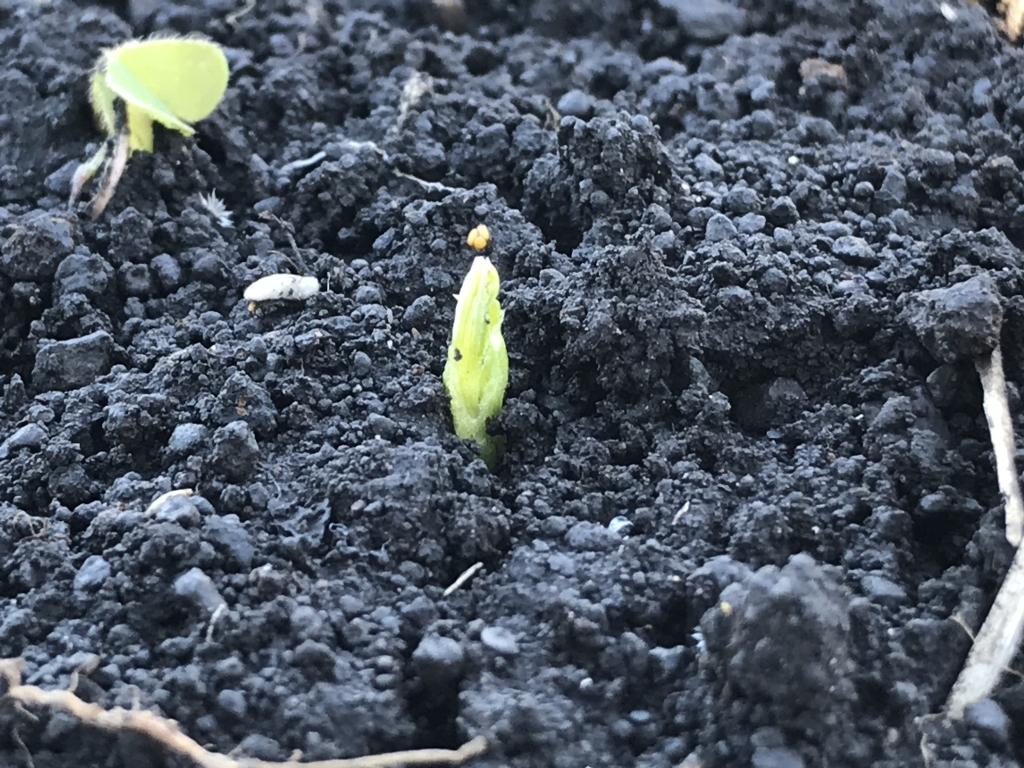 スナップエンドウの芽