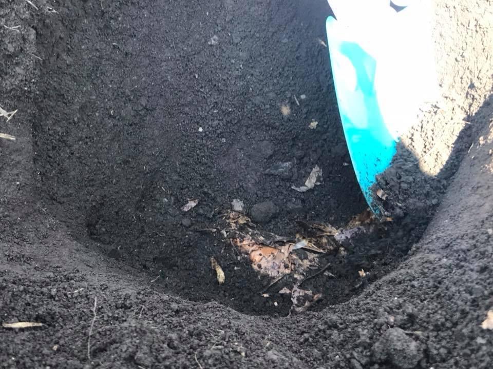 里芋を掘り出しているところ